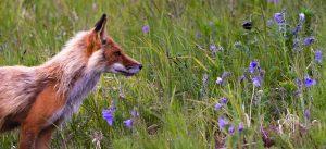 hunter-fox