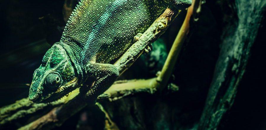 green-lizard